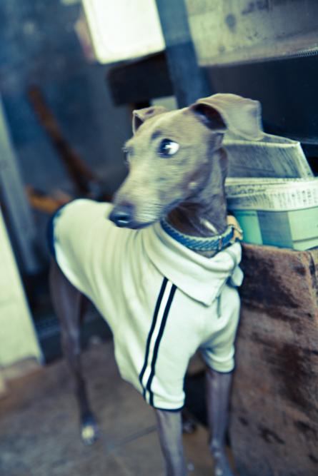Japanese dog wearing jacket in Tokyo